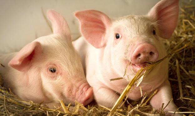 pigs-623x370
