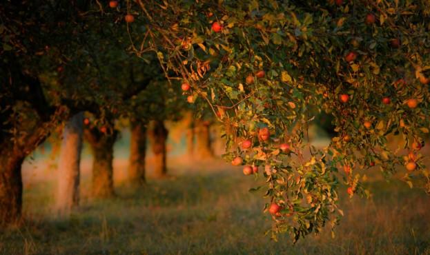 sad-iabloki-urozhai-leto-osen-vetki-frukty-svet-poliana-dere