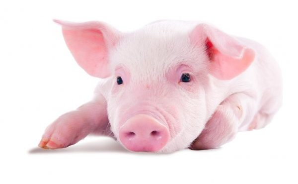 depositphotos_55570167-stock-photo-pink-pig-isolated-on-white