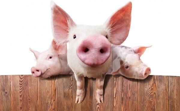 depositphotos_77286666-stock-photo-pig-farm
