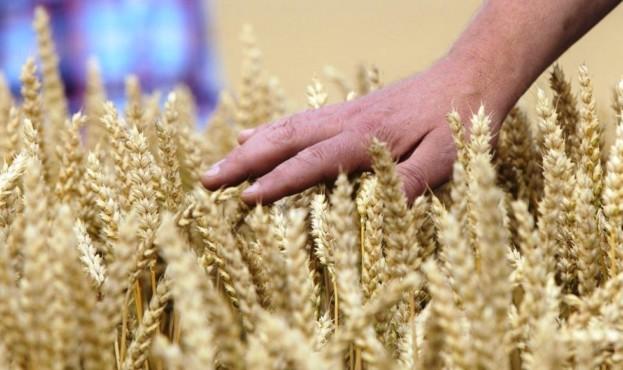 озима пшениця німецької селекції для України