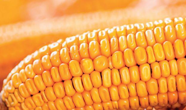 corn1_1