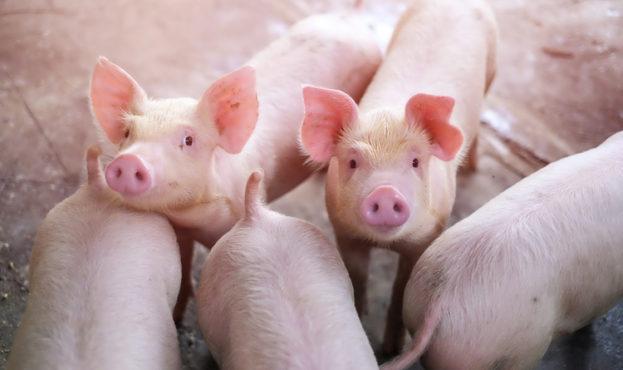 26_pigs