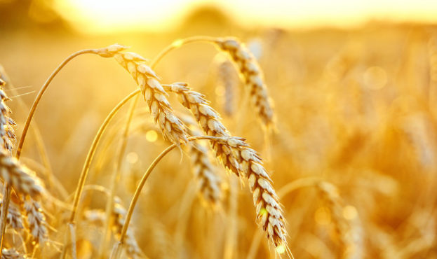 wheat-field-ears-of-golden-wheat-beautiful-sunset-landscape_168410-35