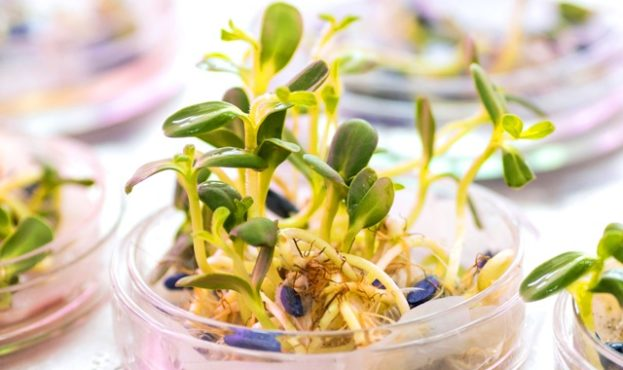 Sprouting sunflower seeds, treated with pesticides in a petri dish