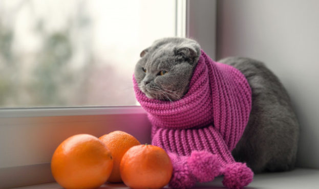 cat-scottish-british-breed-wrapped-warm-scarf-looking-out-window-snow_229770-42