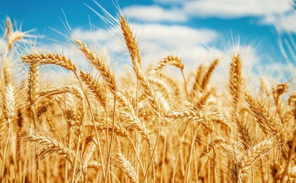 depositphotos_13512380-stock-photo-gold-wheat-field-and-blue