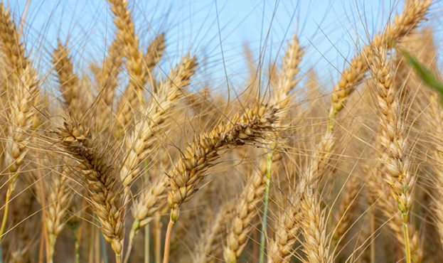 Spikelets are filled with barley grain. Ripe grain harvest.