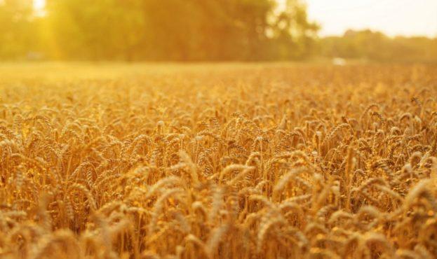 golden-wheat-field-and-sunset-PQ4W3SQ-min-1-1000x600