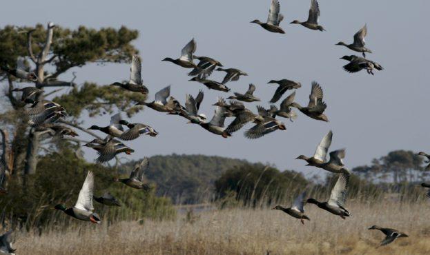 mallard-ducks-891950