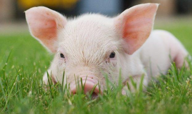 свиня-1024x528