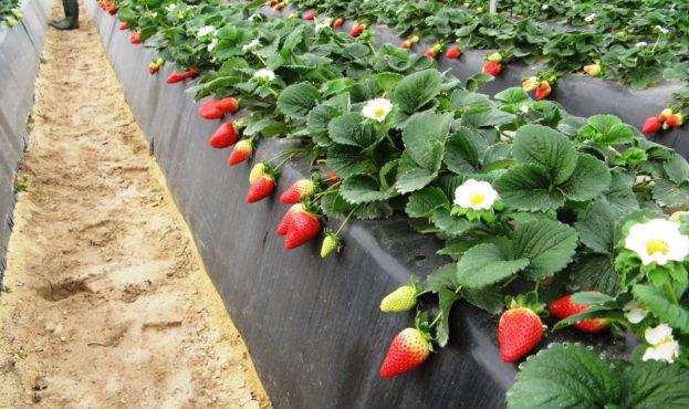 выращивание клубники на высоких грядах в пленочных теплицах