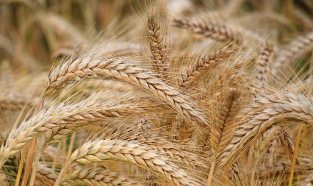 field_image_wheat0