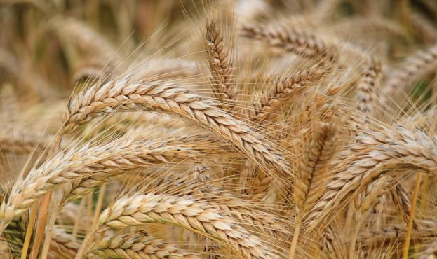 field_image_wheat0