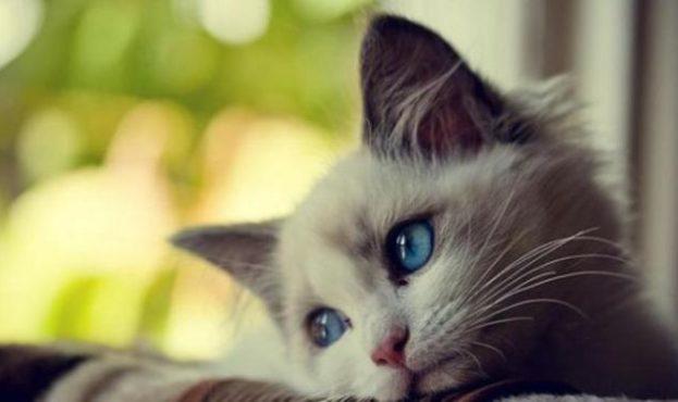 gambar-kucing-manis-12