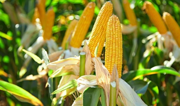 news-20180921-effective-technologies-for-corn-cultivation-in-the-central-chernozemye-region_main.1024x573