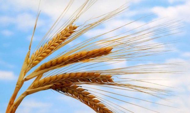 Пшеница-миниатюра