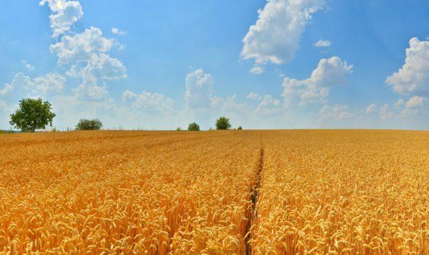 пшеница-2-1