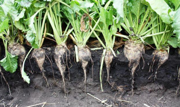 Strube sugar beet variety Vavilov
