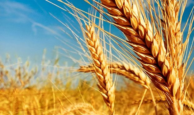 wheat-milestone-social