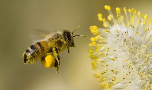 africanized-bee-wallpaper-2
