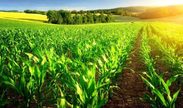 bigstock-Sunlit-Rows-Of-Corn-Plants-90738722
