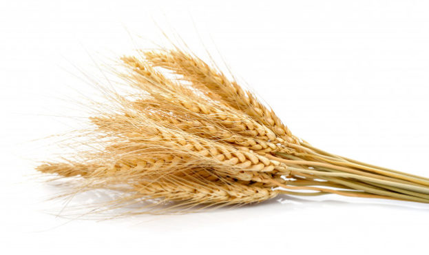 ear-of-barley-on-white_62856-4700