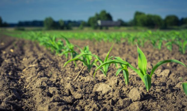 Row,Of,Young,Corn,Plants,Against,The,Sky