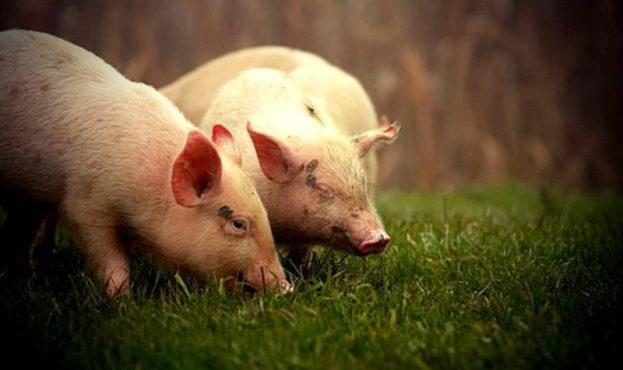 pigs-9928