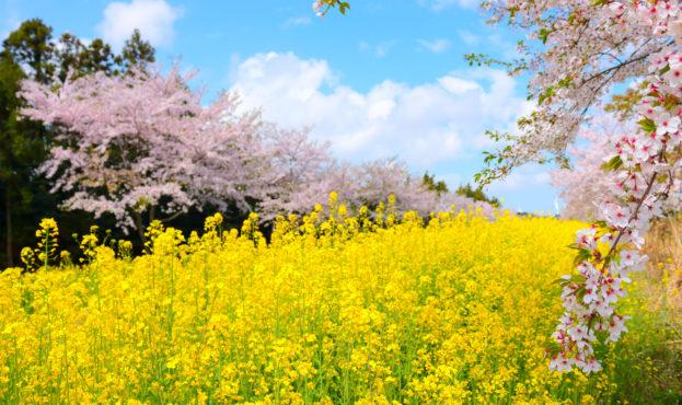 "It,Is,Spring,Scenery,Of,""noksan,Road"",In,Jeju,,South"