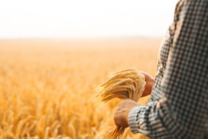 farmer-s-hand-checking-wheat-field-progress_117255-1492
