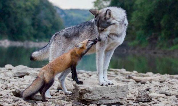 Лиса_и_волк