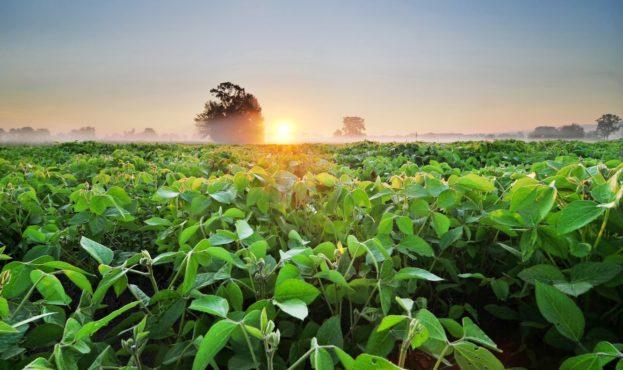 soybean-soia-pole-plantatsiia-zelen-derevia-tuman-utro-rassv