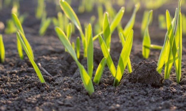 sprouts-of-sprouted-grain-in-the-soil_229911-17