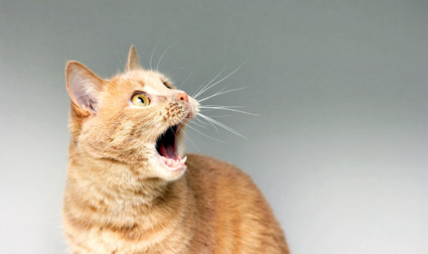 the-surprised-cat-the-amazement-of-the-cat-open-your-mouth-in-surprise-an-extreme-degree-of-surprise-frightened-cat-be-in-shock-stupor_116815-404