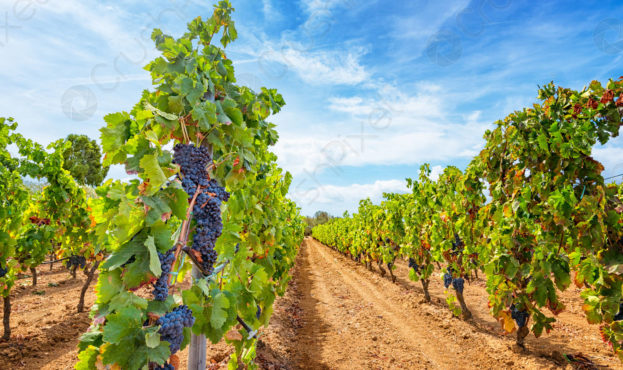 vineyards-perspective-autumn-harvest-ripe-614365 (1)