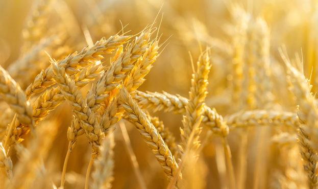 wheat-seeds-artaniya