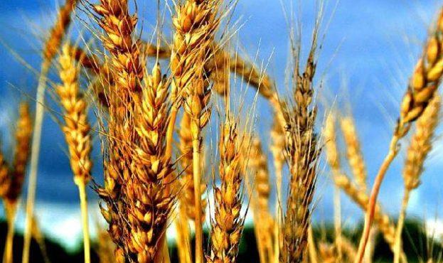 Wheat1-15970