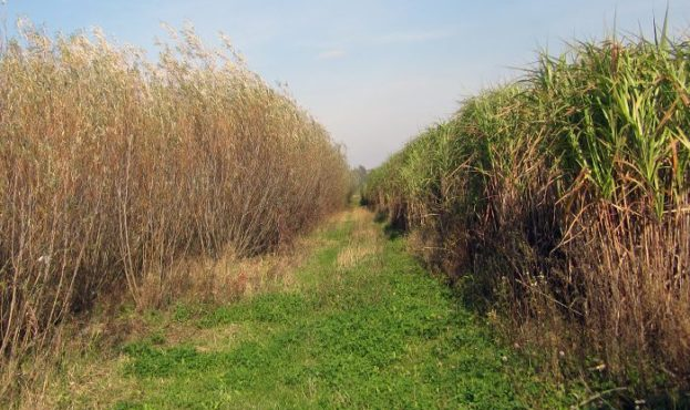 willow-miscanthus-photo-700x420