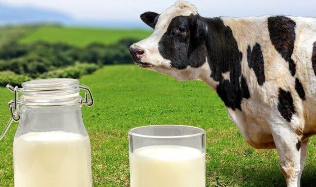 _109926802_milkcow