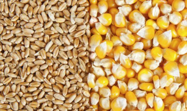403ea24-5a200c3-wheatcorn
