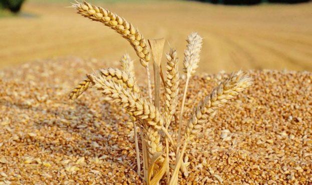articles.20100728-wheat-grain-quality.00