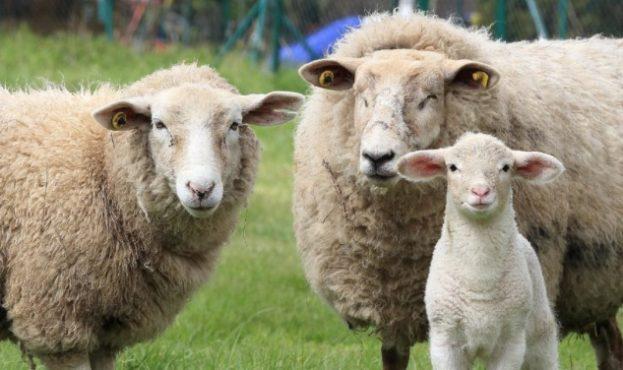 barany-i-ovcy-harakteristika-vidy-uhod-razmnozhenie