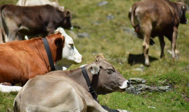 cows-4135602_1920