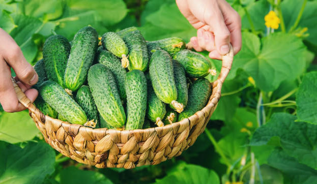 cultivo-cosecha-casera-pepino-manos-hombres_73944-6637