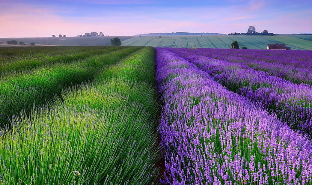 lavender-fields-lavender-field-wallpaper-preview