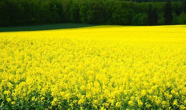 oilseed-rape-474499_1280