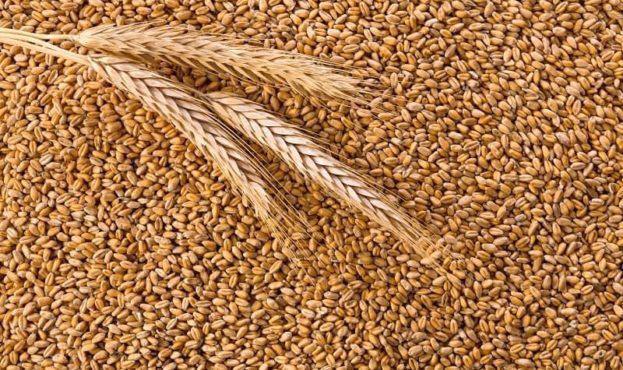 processed-organic-wheat-grains-background-p8nupk2