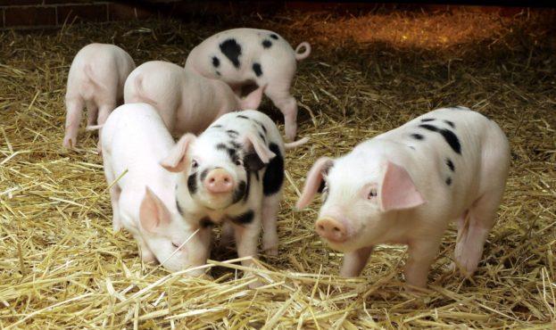 свині1