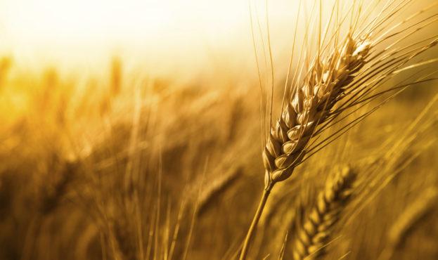 Wheat7-12375